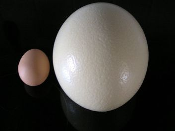 Ostrich egg (right) compared to chicken egg (left). Photo credit: BMK at German Wikipedia.